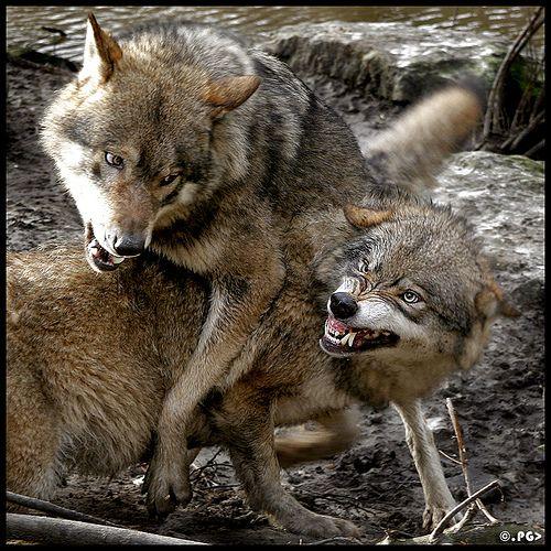 Картинки волк защищает волчицу