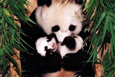 illustration de le panda Fu7w3wjx