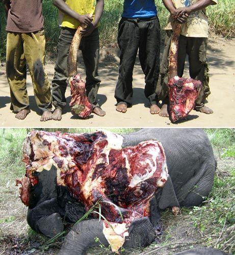 Cameroun : nouveau massacre d'éléphants